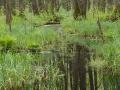 biebrzanski_park_narodowy_bagna